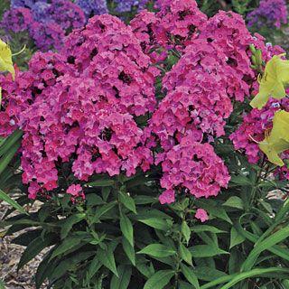 Phlox Glamour Girl Phlox Flowers Plants Perennials