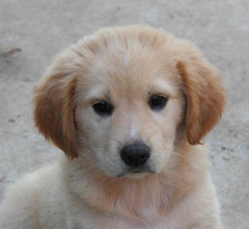 Adopt Mason On Dogs Golden Retriever Dogs Australian Cattle Dog
