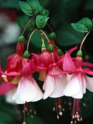 Choosing fuchsias for your garden brings bold color and visual interest to your home. With flared flowers hanging from drooping stems, these flowering plants are ideal for use in hanging baskets. In addition to their variety of hues in pink, red, white, purple and magenta, fuchsias display green foliage and are available in nearly 5,000 cultivars. Choose the fuchsia plant that works best for your particular region and provide optimal care for beautiful blooms year after year.