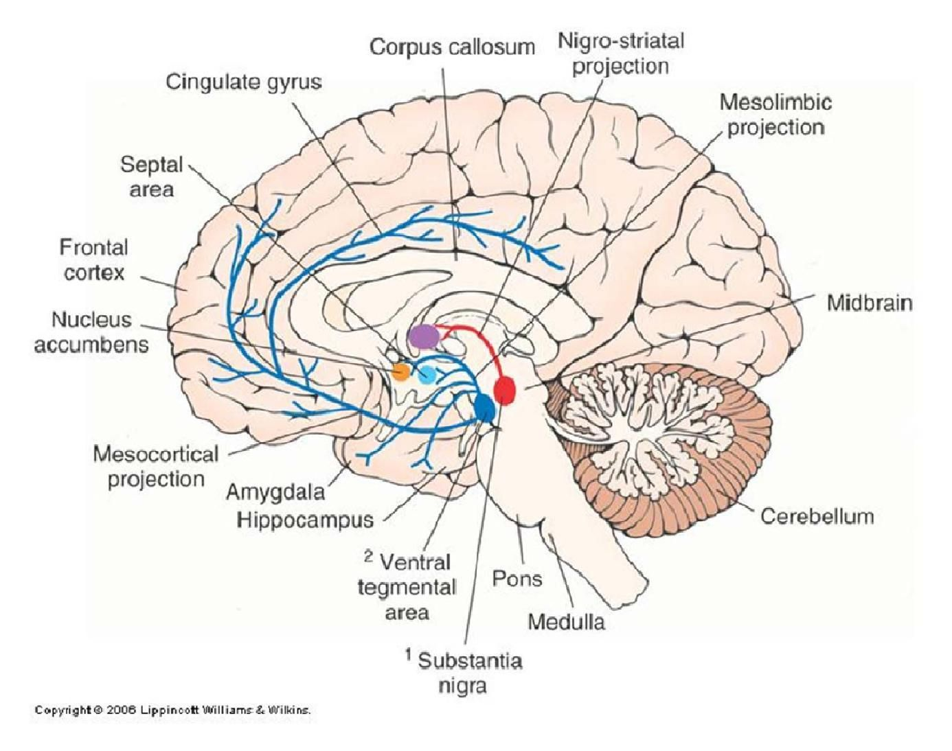 Dopaminergic pathways nuclei google search neuroanatomy dopaminergic pathways nuclei google search ccuart Images