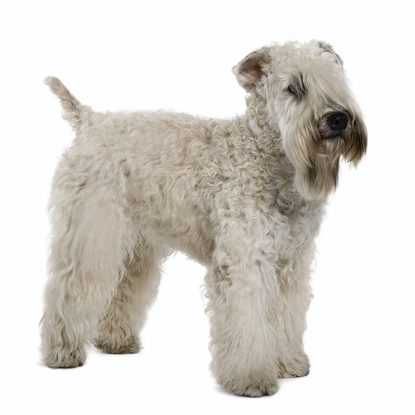 The Soft Coated Wheaten Terriers Didn T Garner Worldwide Attention Until Their 1937 Debut At The Irish Kenn Soft Coated Wheaten Terrier Wheaten Terrier Terrier
