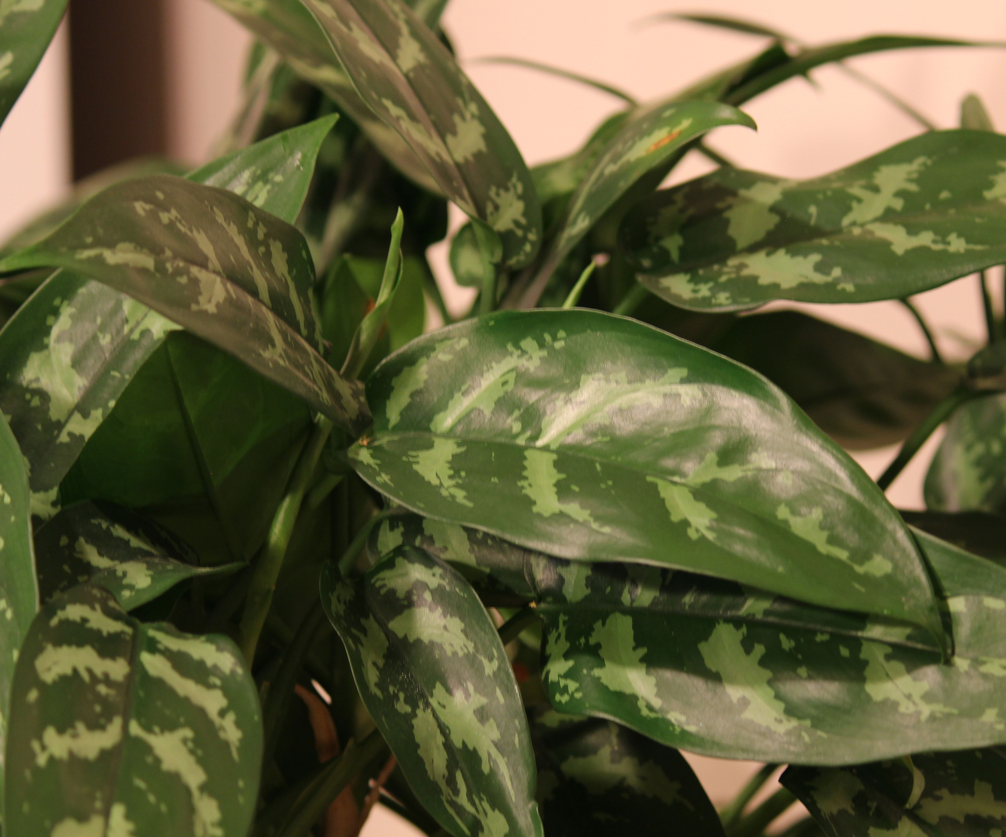 This is an Aglaonema Emerald Beauty We sometimes call them