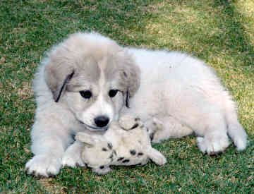 Great Pyrenees Puppy. These dogs are my absolute favorite!