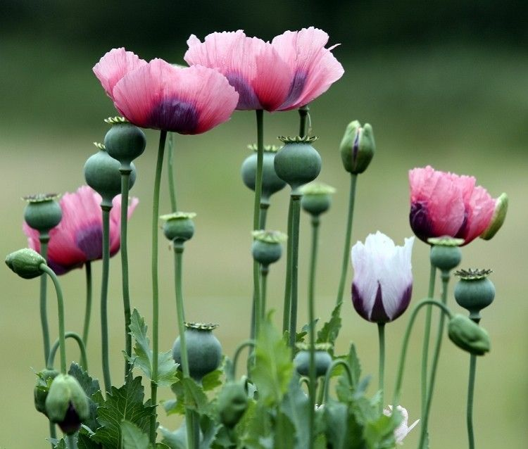 Oriental Poppy Viragok Pipacs