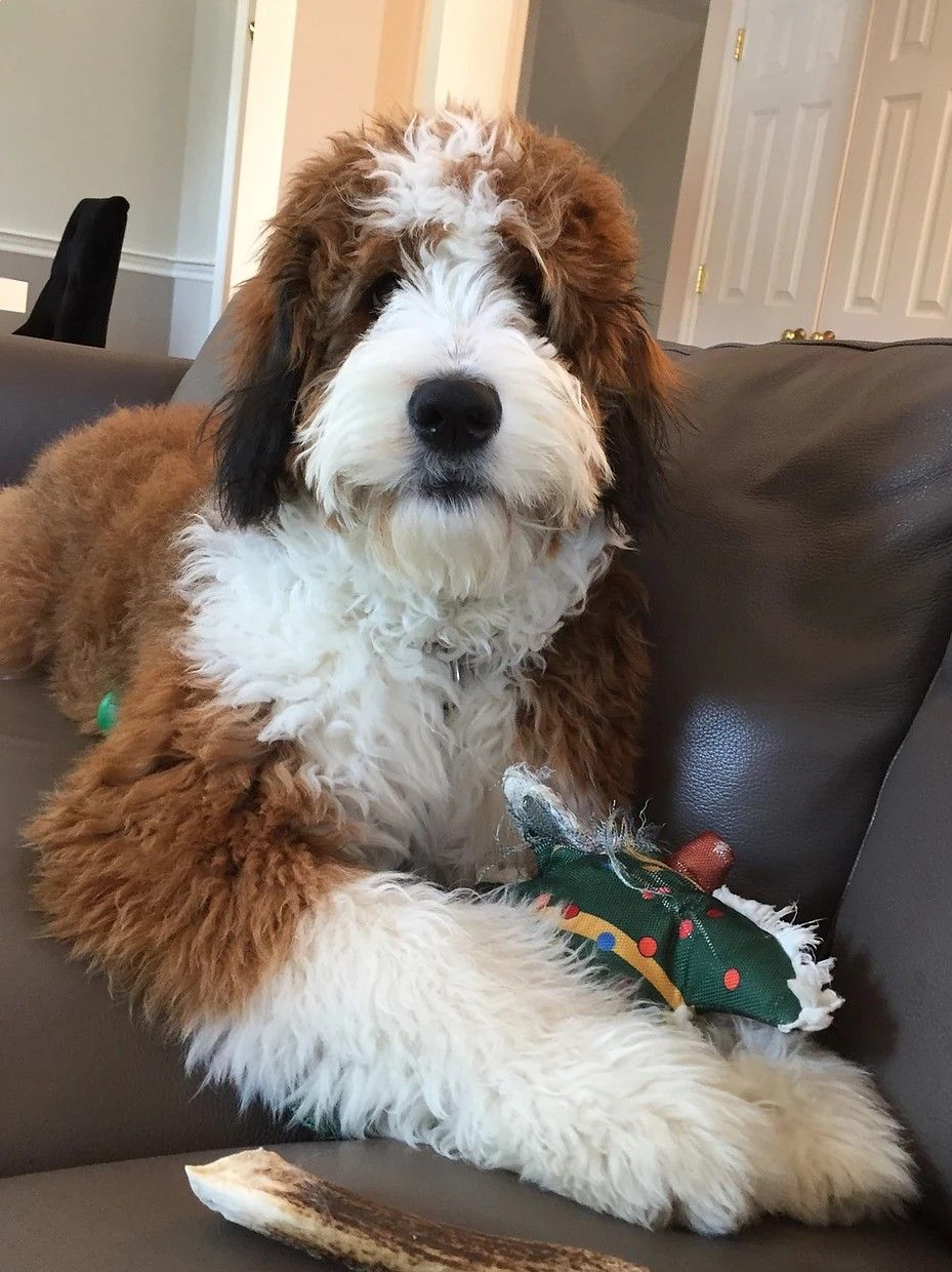 Pin By Daphne Harris On Bernedoodles Doodle Dog Bernedoodle Puppy Cute Dogs