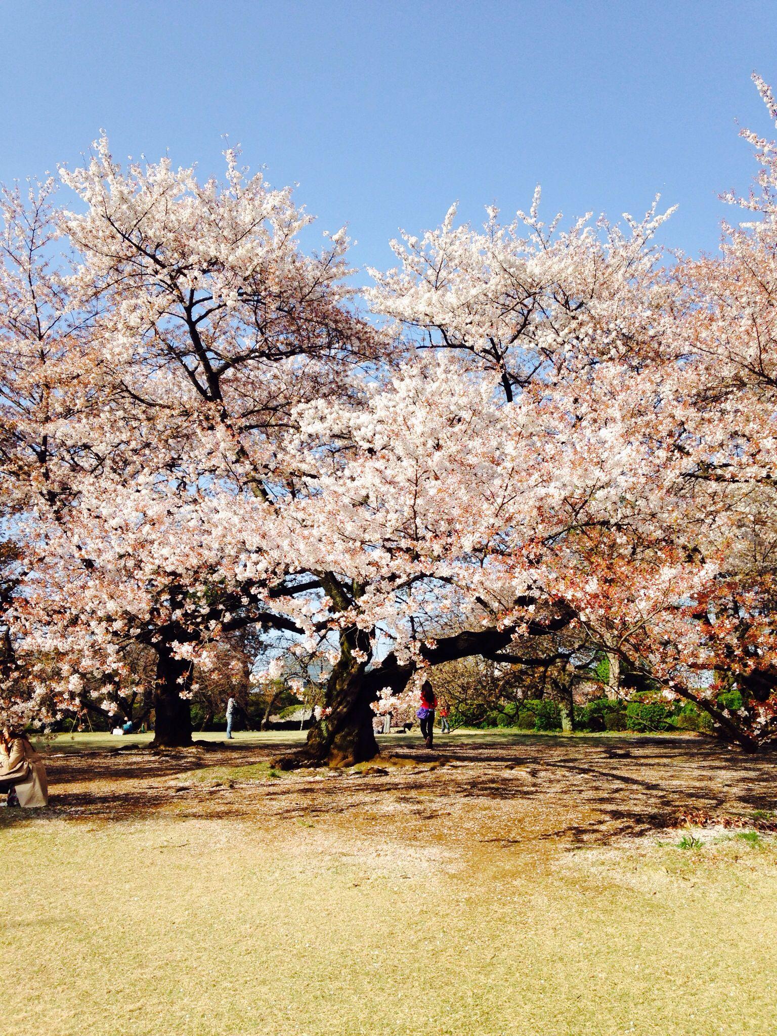 Beautiful Sakura in Japan