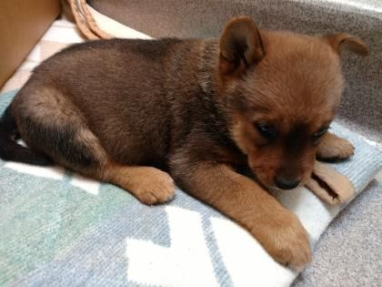 Empress Is An Adoptable Shiba Inu Searching For A Forever Family Near Palm Springs Ca Use Petfinder To Find Adoptable Pets In Your Are Pets Shiba Inu Animals