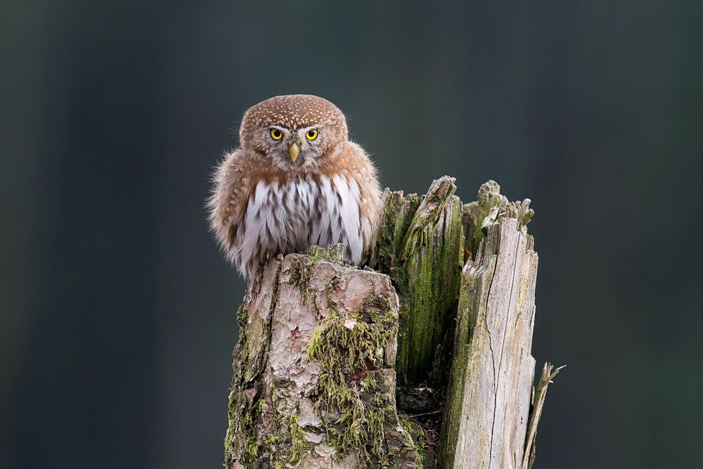 Nirth Pygmy Owl - Photograph Look Into My Eyes by Gregory Lis on 500px