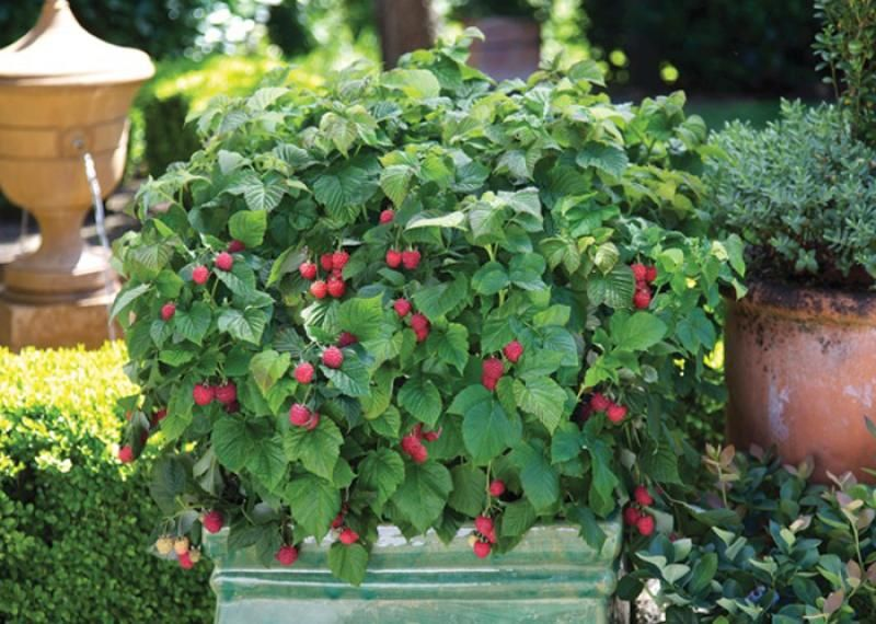Dwarf Thornless Raspberry Raspberry Shortcake Gets Only 2