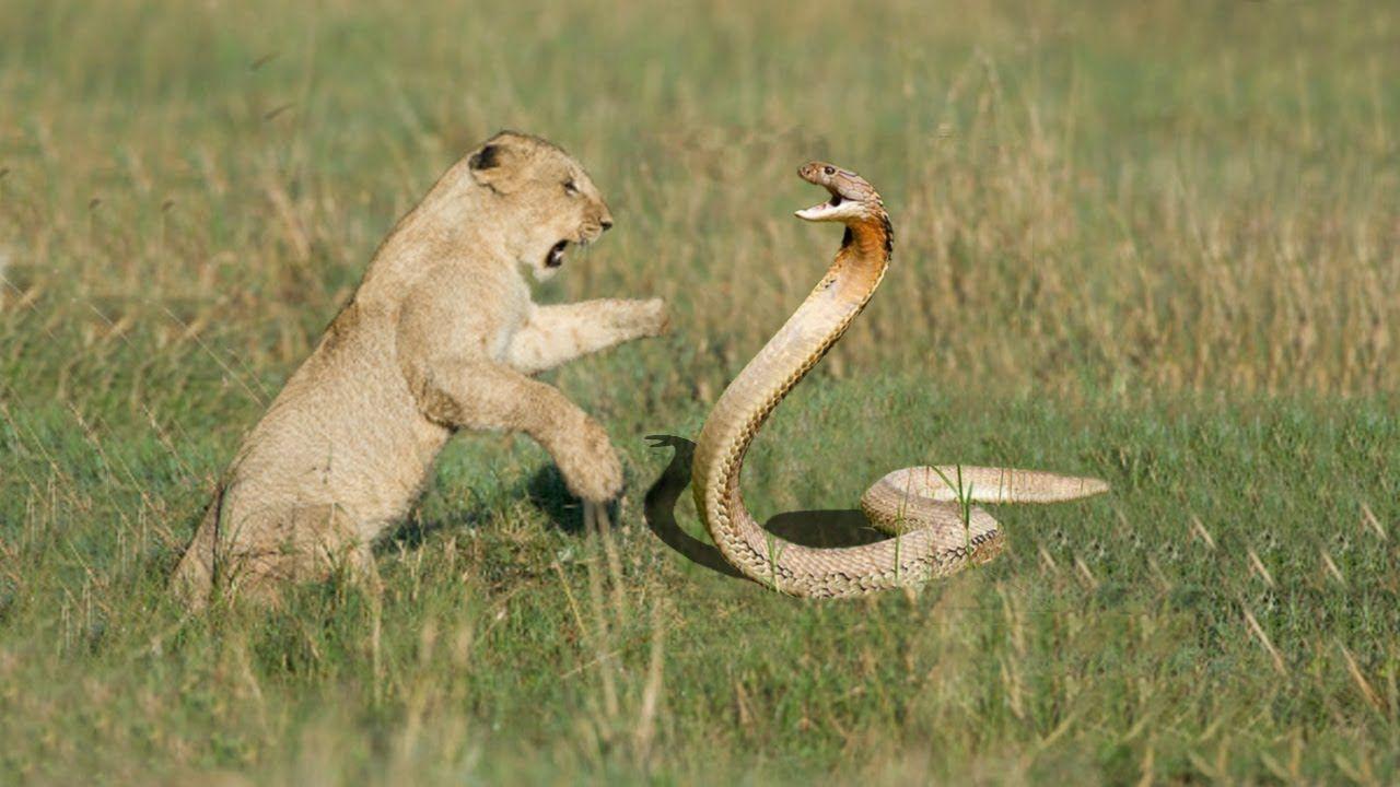 Lion Vs Snake Wild Animals Videos Animals Wild King Cobra