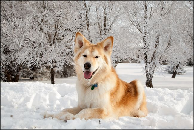 This Is Probably The Most Beautiful Dog I Have Ever Seen Goberian