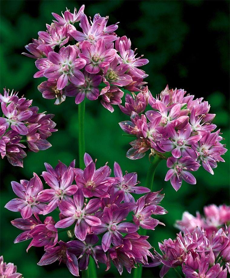 Allium unifolium circa 1873 composite 2 clusters of pink to allium unifolium allium flower bulb index mightylinksfo Image collections