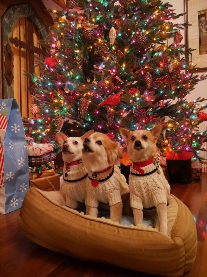 A doggy christmas chorus here at almost heaven ranch