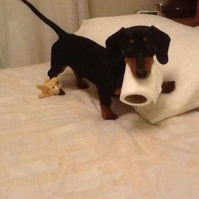 Dog Training Tips To Help You Dachshund Dachshund Puppies