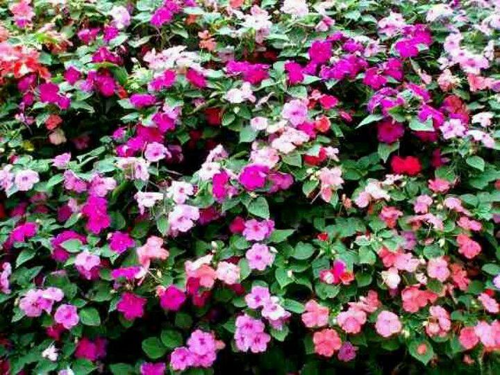 Niecierpek Garden Pinterest Garden