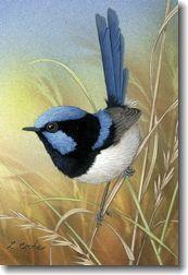 art cards lyn cooke 39 superb blue wren 39 birds pinterest art cards wren and bird. Black Bedroom Furniture Sets. Home Design Ideas