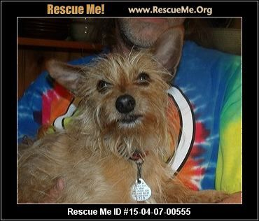 Rescue Me Id 15 04 07 00555toto Male Yorkie Age Young Adult