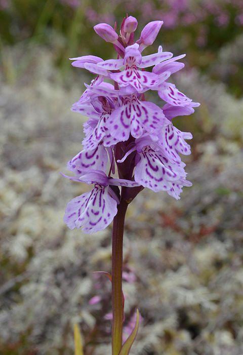 Flekkmarihand (Dactylorhiza maculata)