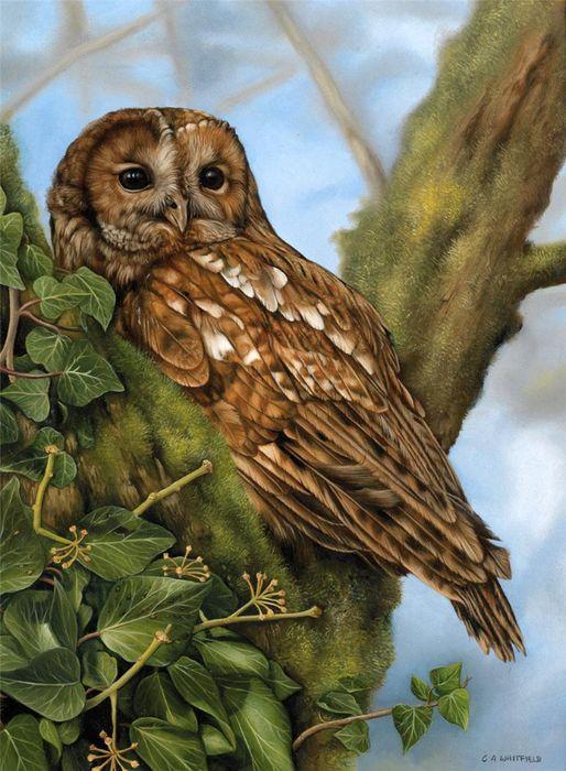 Carl Whitfield   Картинки с совой, Птицы и Сова картинки