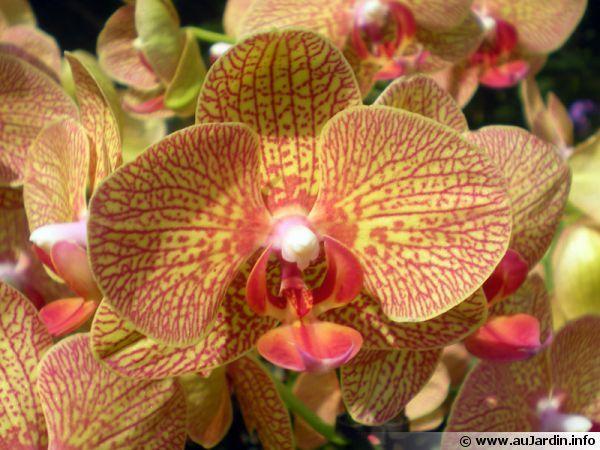 Entretien Des Orchidees D Interieur Orchids Orchids Painting