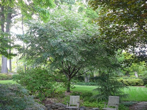 Styrax Japonica Japanese Snowbell Tree Incredible Pendulous