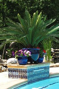 Nice potted sago palm presentation landscape and garden in florida pinterest plants pool for Best palm tree for swimming pool