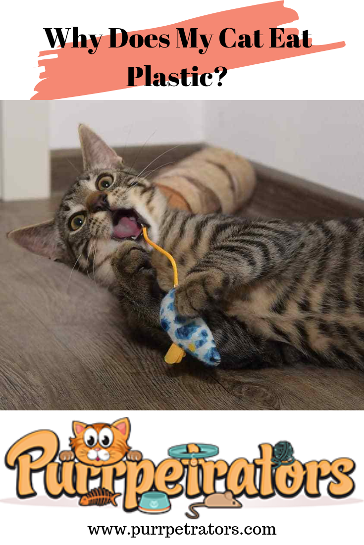 Why Does My Cat Eat Plastic? (With images) Cats