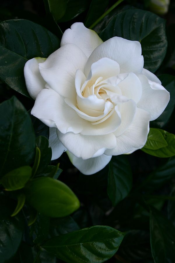 Gardenia Bush   So Beautiful And The Blooms Are Big And Smell So Good