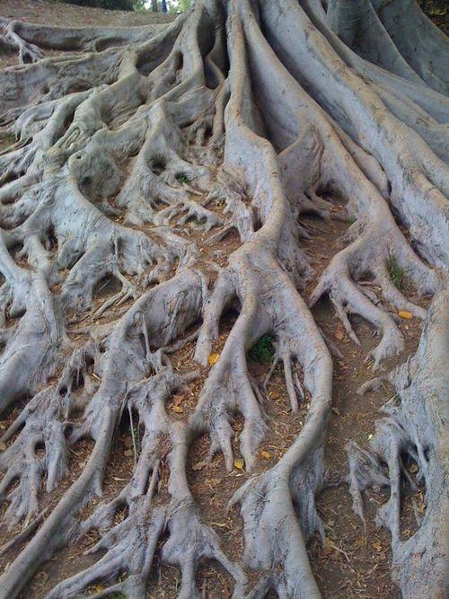Crazy Tree Roots Crazy Magnolia Tree Roots Balboa Park Fate