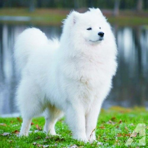 Snow White Samoyed Most Expensive Dog Expensive Dogs Dog Breeds