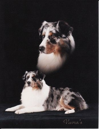 Lastcall Aussies Home Page Pets Animals Corgi
