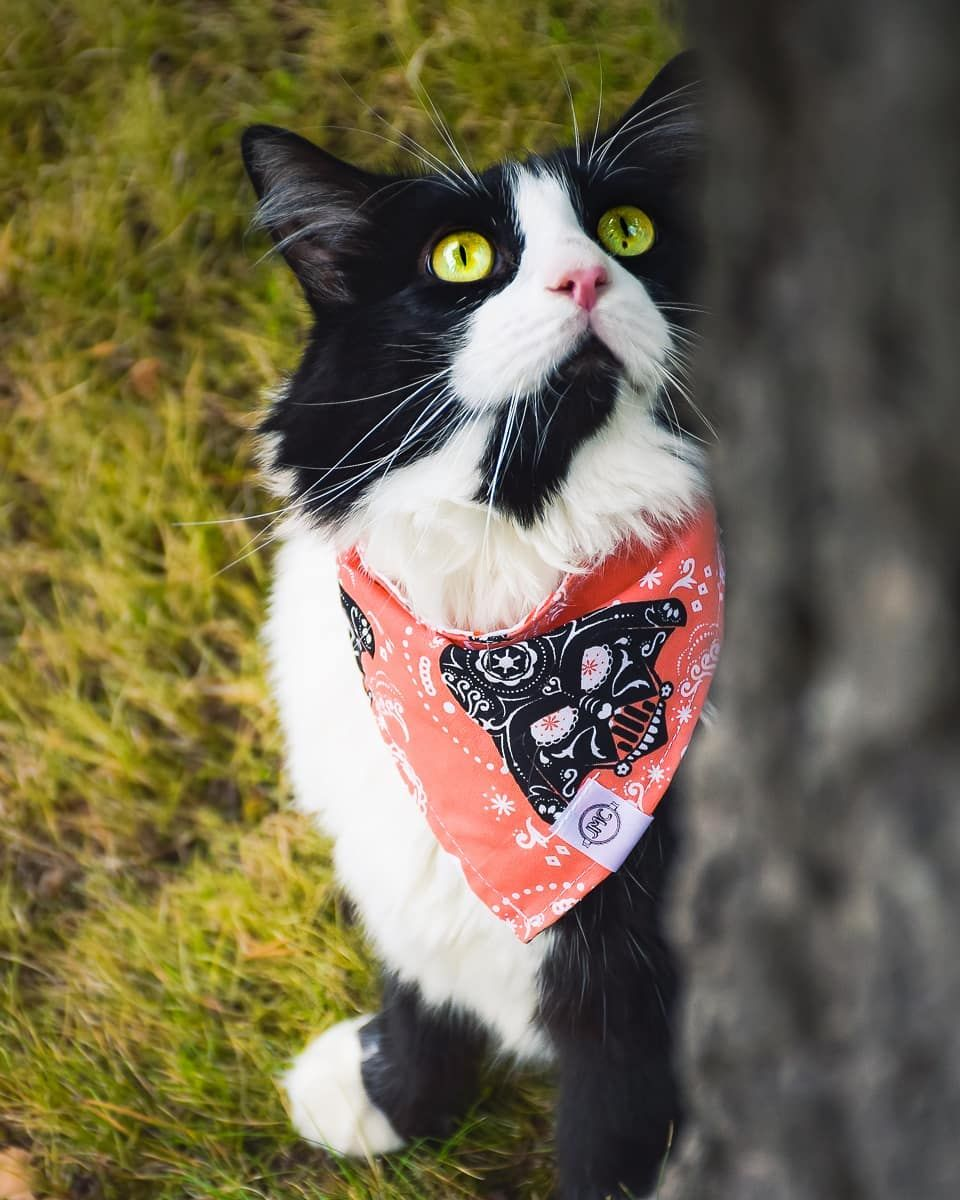 I Will Teach You The Ways Of The Dark Side Bandit Is Wearing The Bandana May The 4th Be With You By Jmc Forest Cat Norwegian Forest Cat Norwegian Forest