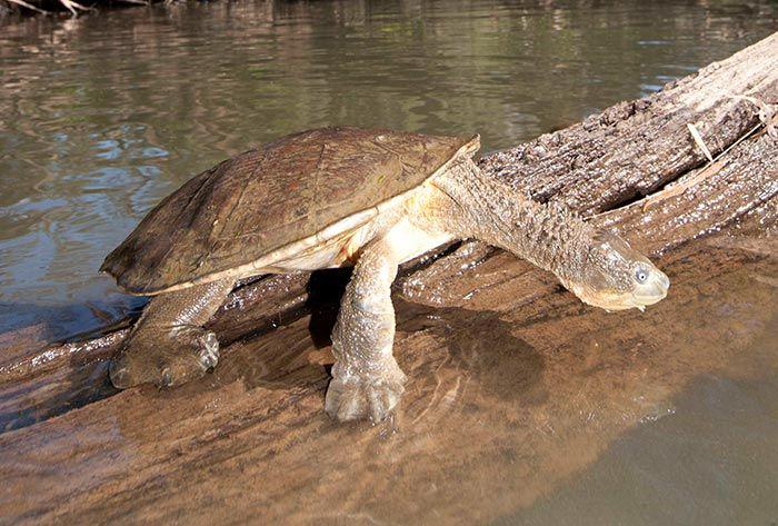 Fitzroy River Turtle Turtle Fitzroy