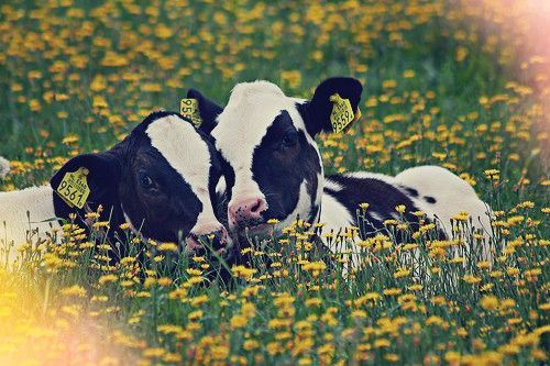 calves! #animalphotography #domestic #animal #photography #dairyfreesmoothie
