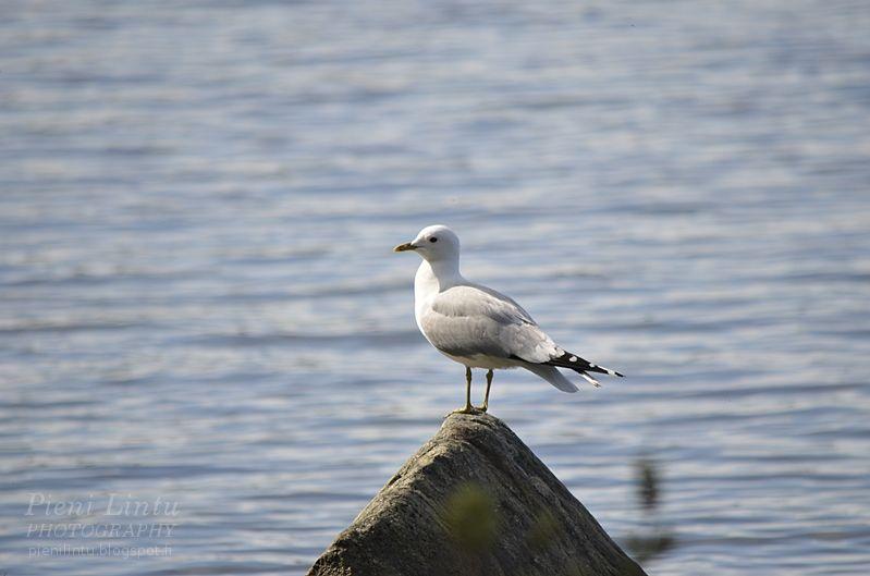 sea and gulls