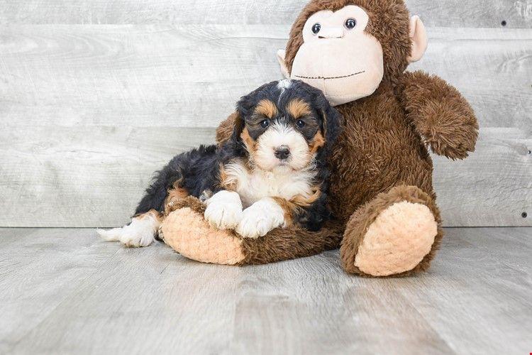 Mini bernedoodle puppies for sale ohio bernese mini