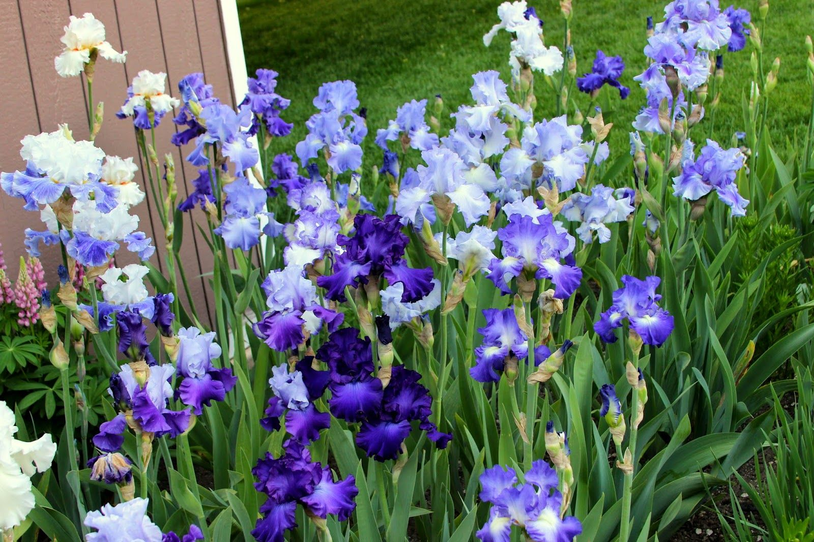 World Of Irises The Blue Iris Garden Planting A Monochromatic Tall Bearded Iris Bed Iris Garden Trees To Plant Annual Plants
