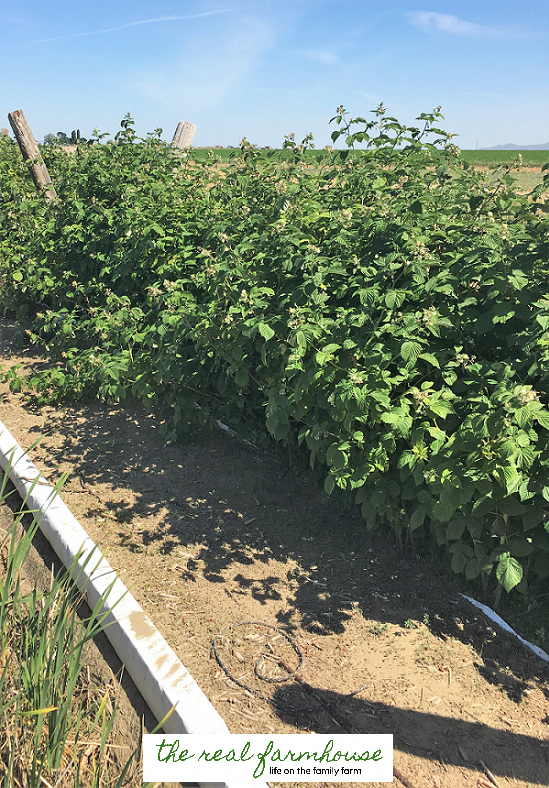The secret to getting your raspberry plants to stay ...