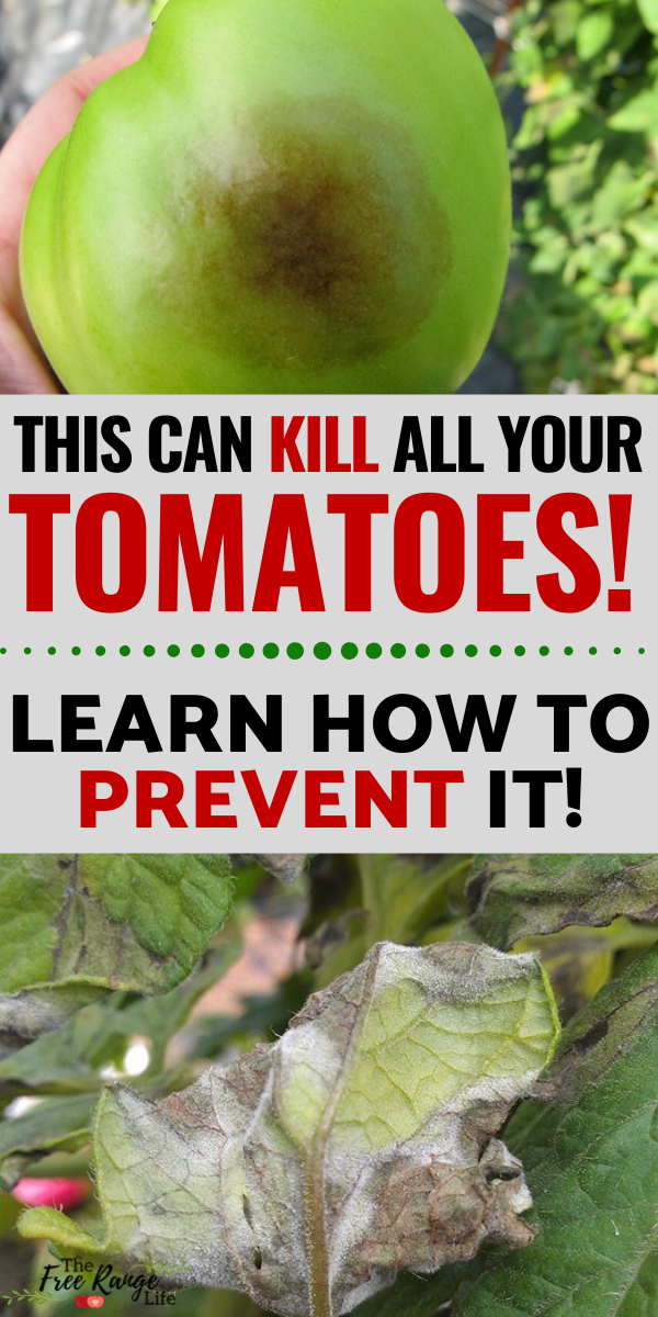 599b85749b76728a2ec33b4b6aa357e6 - How To Get Rid Of Late Blight On Tomatoes