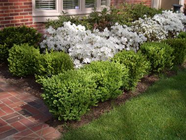 Calling all children are you ready for mothers day white azalea azaleas bordered with boxwoods mightylinksfo Images