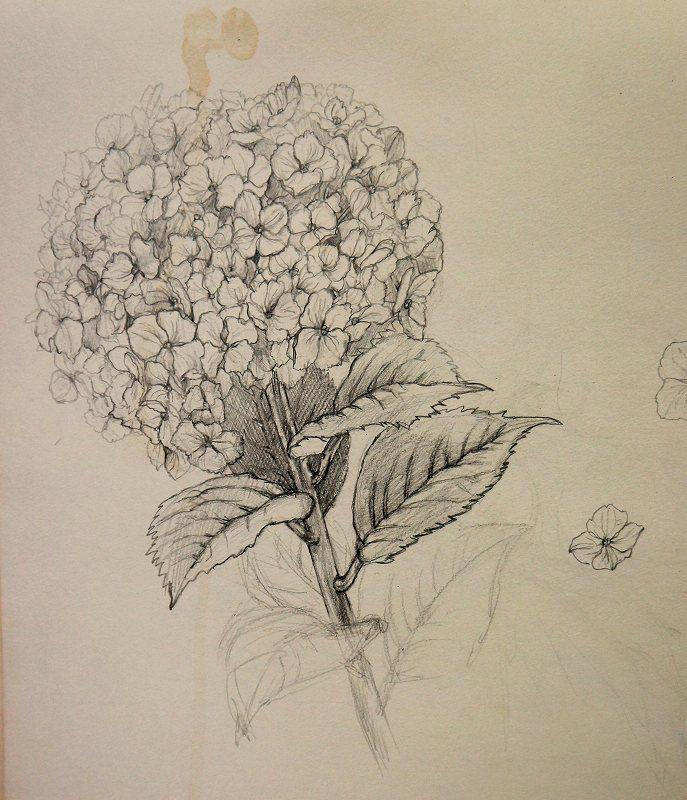 Hydrangea Chisako Fukuyama Pencil Drawing Botanical Drawings Disney Pencil Drawings Flower Drawing