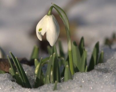 Information About Snowdrops And When To Plant Snowdrop Flower Bulbs Planting Bulbs Bulb Flowers Snowdrop Plant
