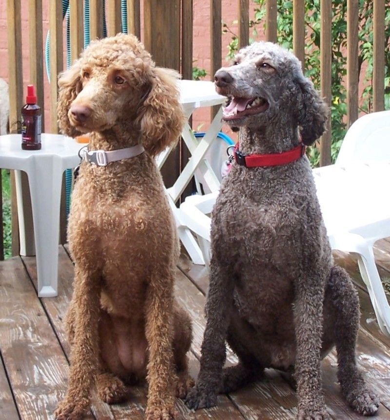 Pin By Jennifer Herron On New Puppy Poodle Cuts Poodle Haircut