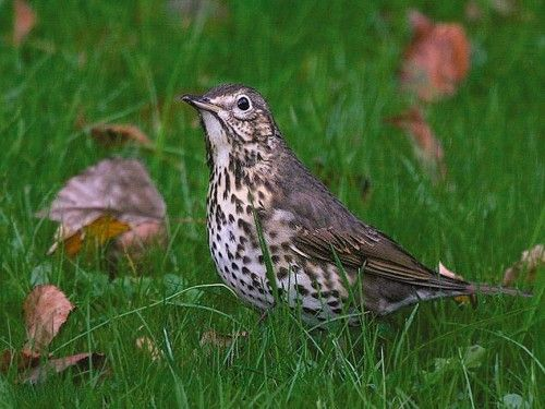 Pingl par sylvie piccand sur oiseaux pinterest for Oiseaux des jardins belgique