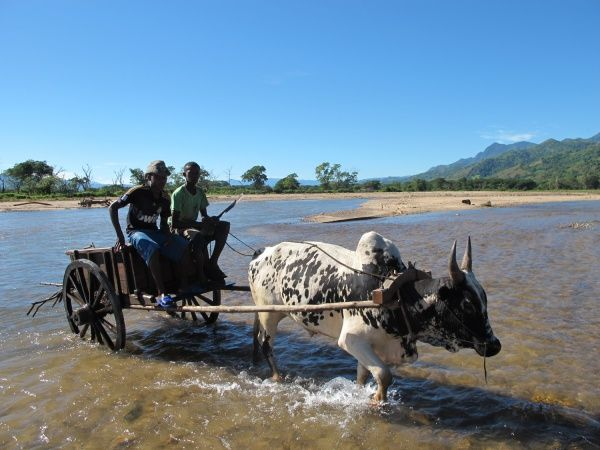 Sarety is Malagasy for bull or zebu cart.