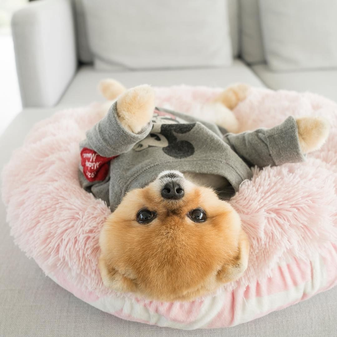 Teacup Pomeranian – Whats Good About Em? Whats Bad About Em?