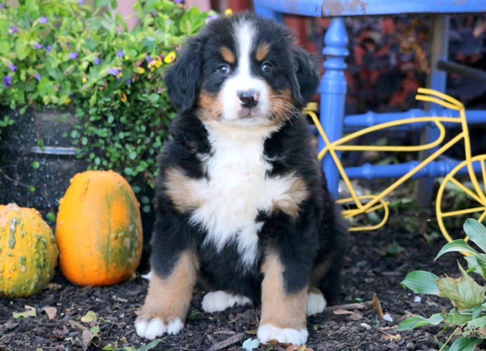 Blissful Bernese Mountain Dog Puppy For Sale Keystone Puppies Puppies Pug Puppies Puppies For Sale