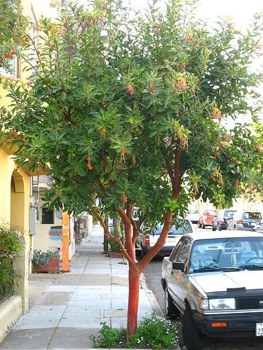 Arbutus Unedo Marina Evergreen Trees For Privacy And Shrubs To