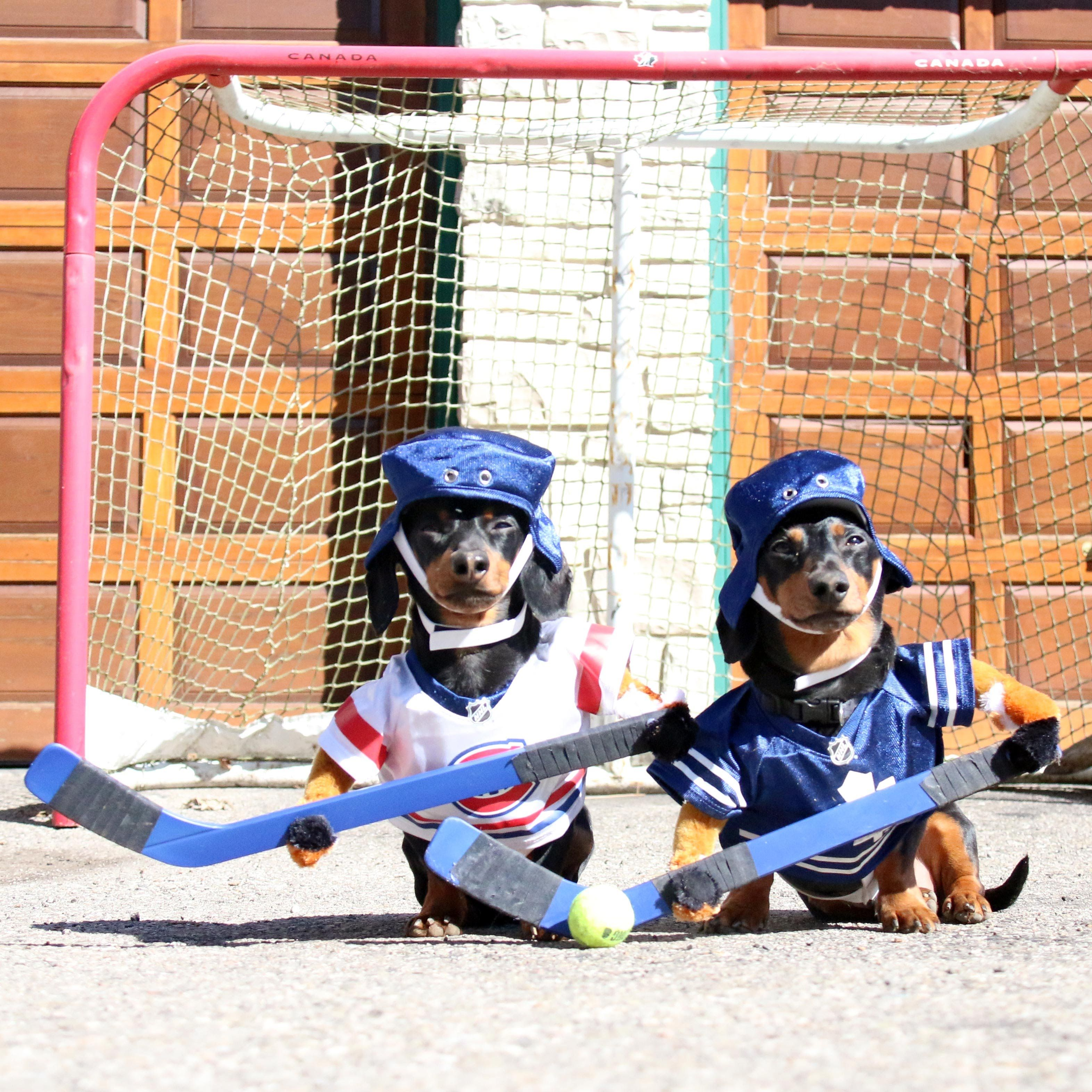 Crusoe Oakley Play Hockey In New Viral Video Dachshunds Join The Fan Club On Facebook Facebook C Crusoe The Celebrity Dachshund Dachshund Funny Dachshund