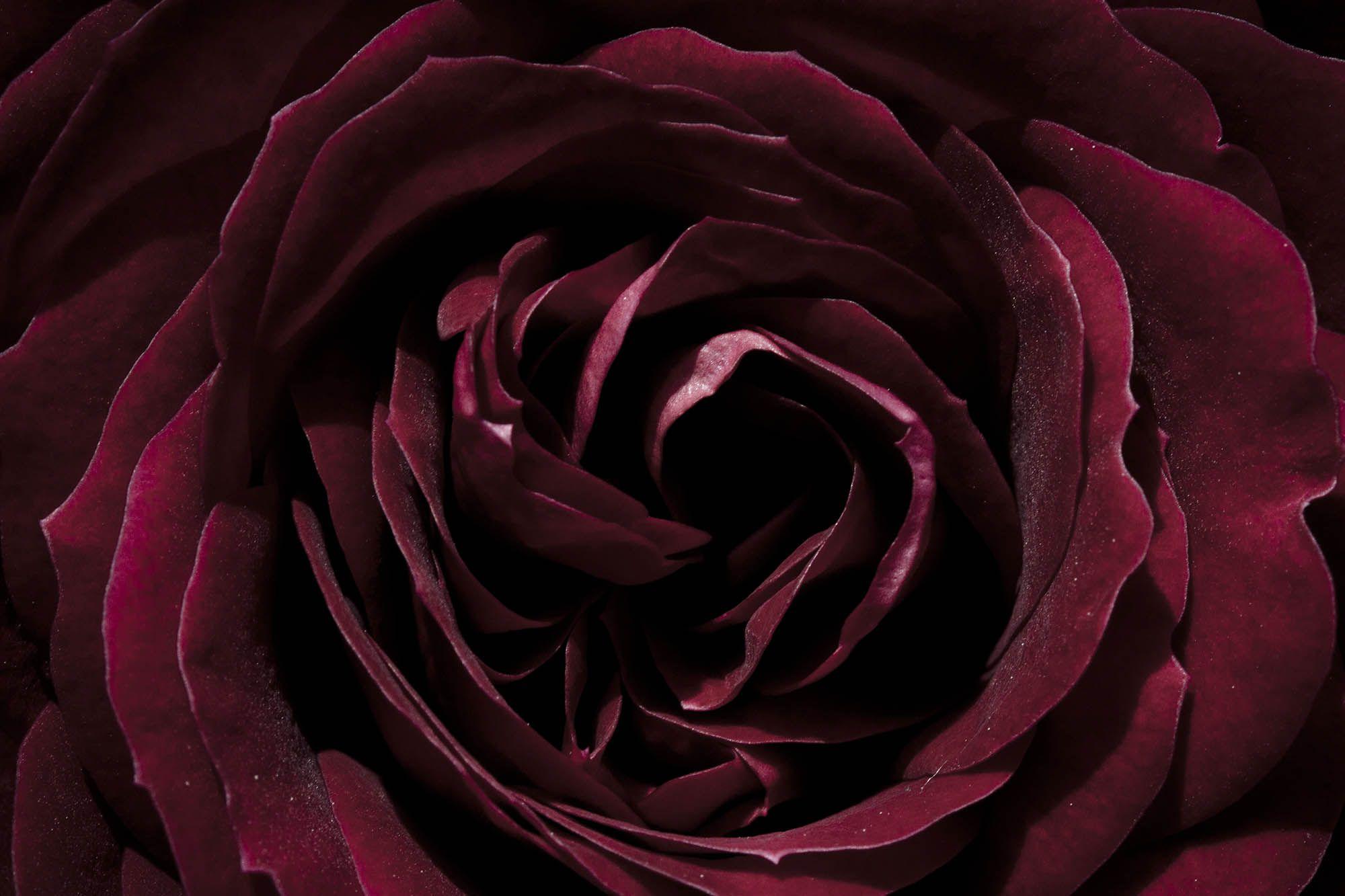 Rose Blume Rot Weinrot Bordeaux Dunkelrot Floristik